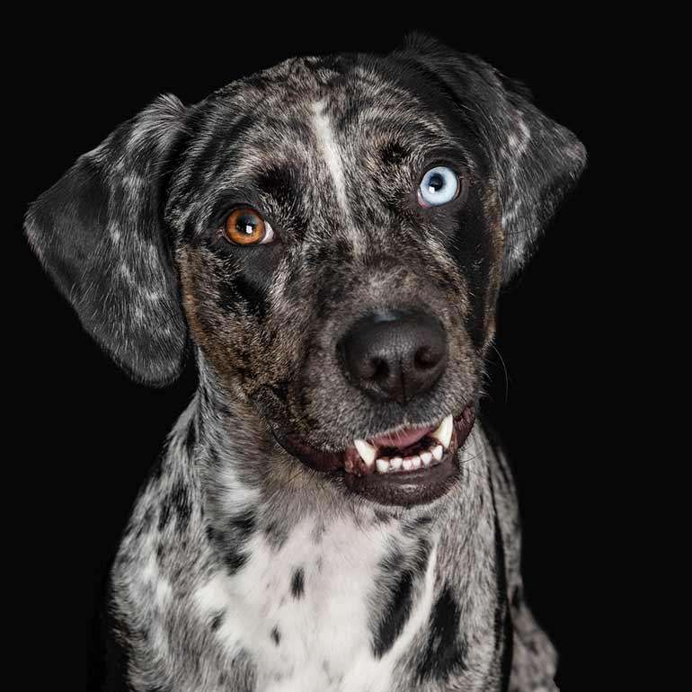 Catahoula Dog Photography