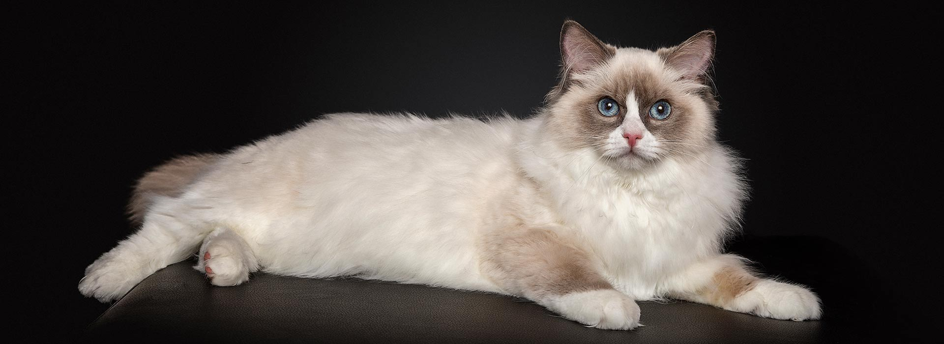 Ragdoll Cat Photography