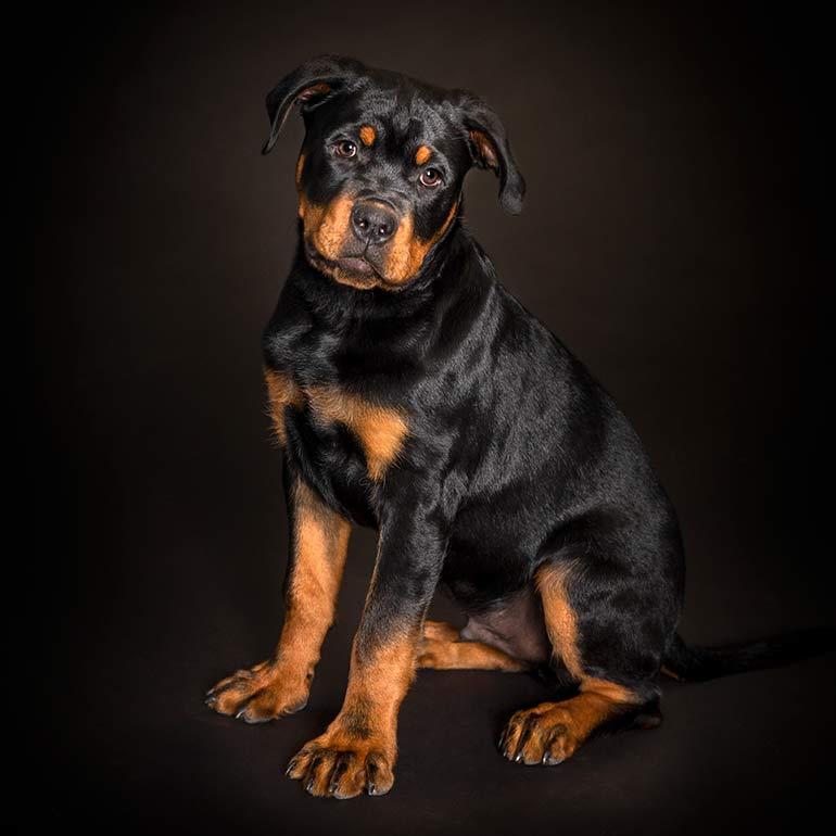 Rottweiler Dog Photography