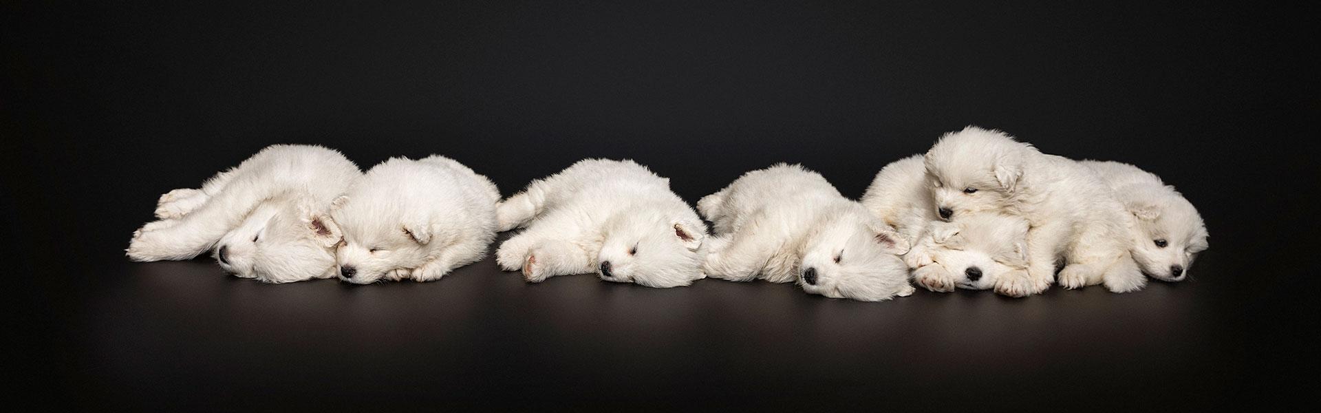 Samoyed Puppies Photography